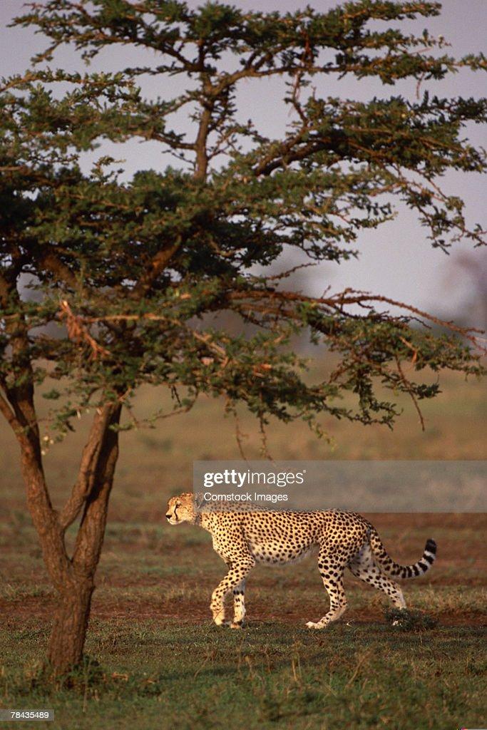 Cheetah walking , Kenya , Africa : Stockfoto