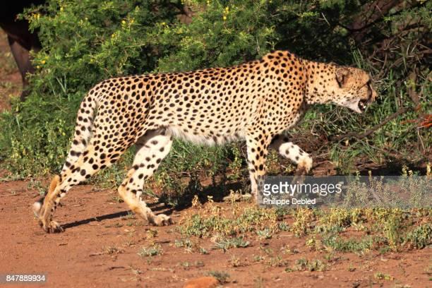 cheetah (acinonyx jubatus) walking on field - animal body stock pictures, royalty-free photos & images