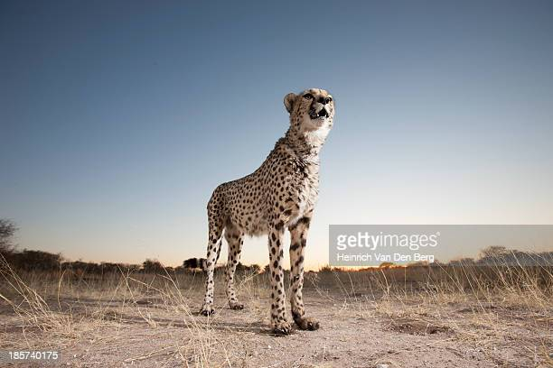 a cheetah walking through the grass. - dark panthera stock pictures, royalty-free photos & images