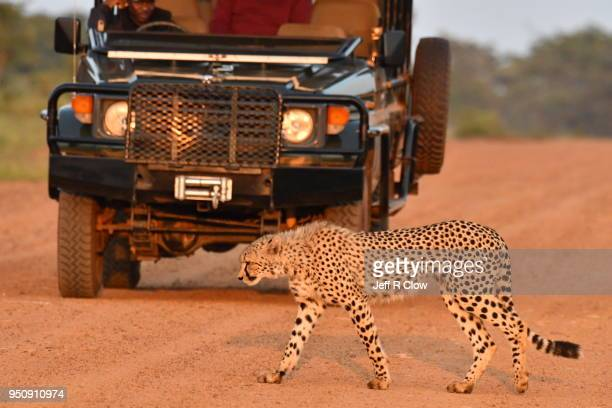 cheetah walks in the road in south africa - big cat stock pictures, royalty-free photos & images