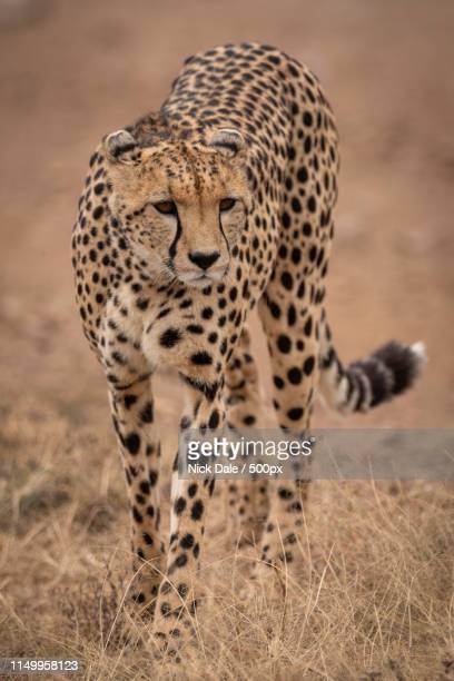 Cheetah Walks Towards Camera In Dry Grass