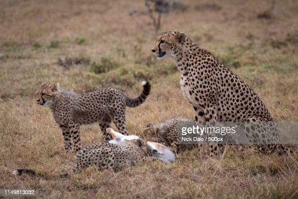 Cheetah Watches As Cubs Eat Thomson Gazelle