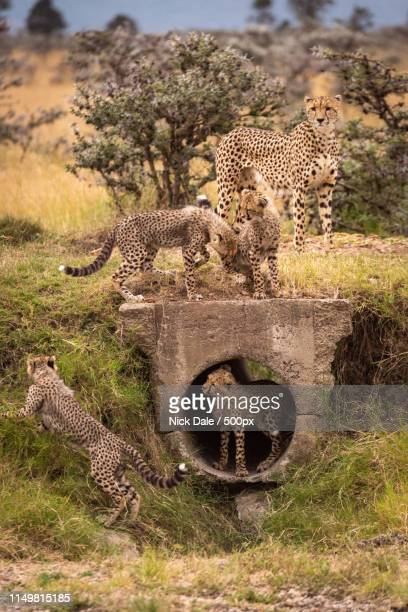 Cheetah Watches As Cubs Play Around Pipe