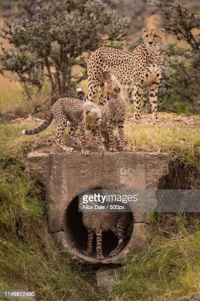 Cheetah Watches Three Cubs Play Around Pipe