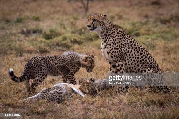 Cheetah Watches While Cubs Eat Thomson Gazelle