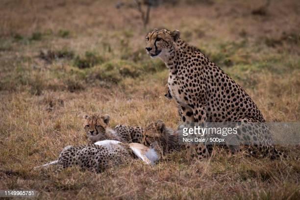 Cheetah Watching While Cubs Eat Thomson Gazelle