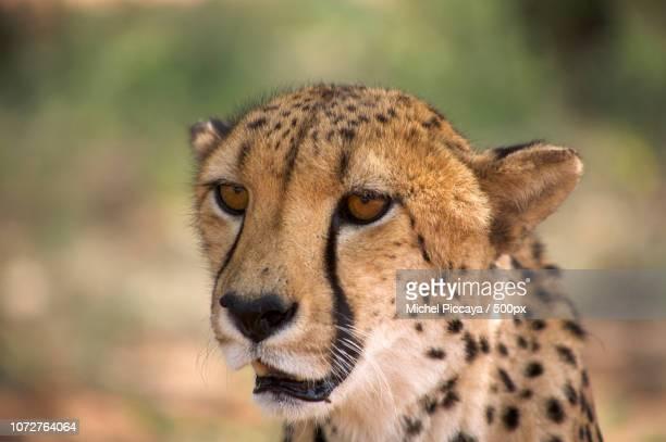 Cheetah, wild animal in Namibia