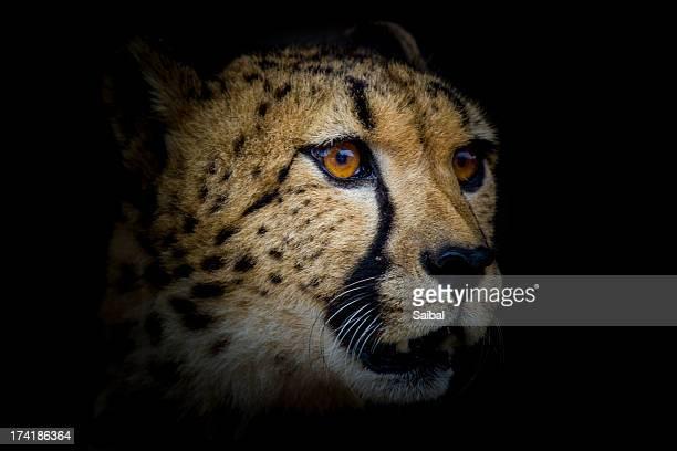 Cheetah Wildlife Animal