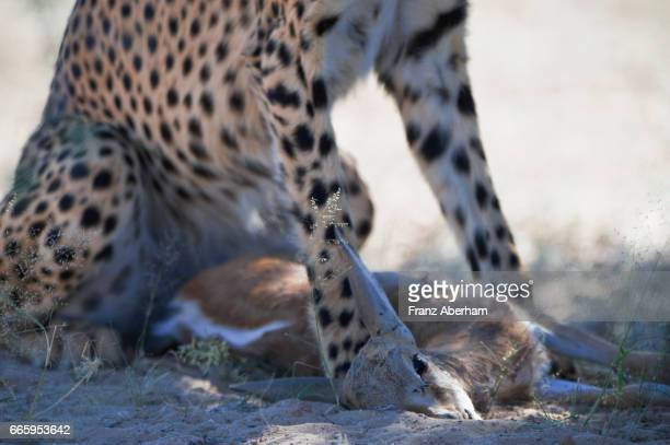 Cheetah with a baby springbok kill, Auob Wadi, Kgalagadi National Park, Kalahari, South Africa