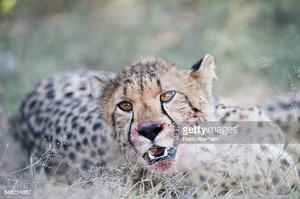 Cheetah with a bloody mouth