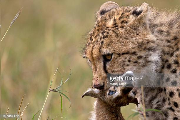 Cheetah with a Thomson's Gazelle kill.