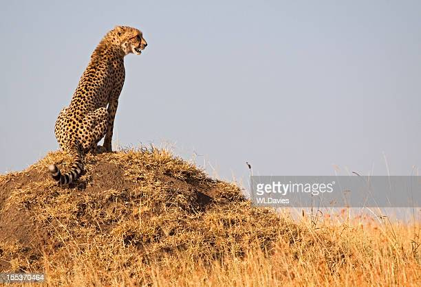 Cheetah with a view
