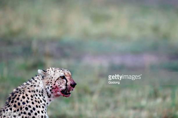 Cheetah with blood on its face Masai Mara game reserve Kenya