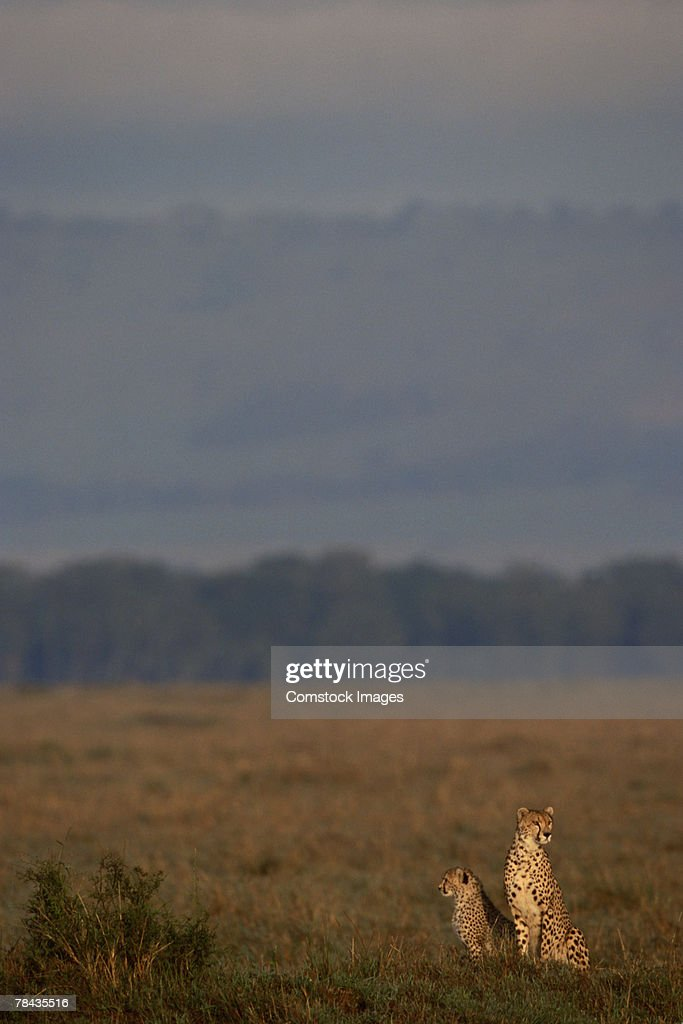 Cheetah with cub in grasslands , Kenya , Africa : Stockfoto