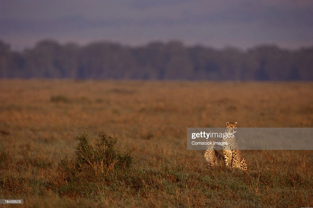 Cheetah with cub in grasslands , Kenya , Africa : Stock Photo