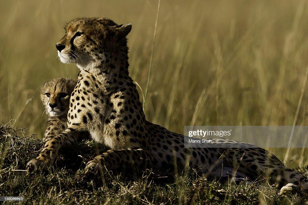 cheetah with cub : Bildbanksbilder