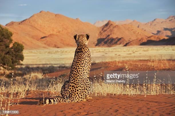 Cheetah (Acinonyx jubatus) with desert landscape Namibia, southern Africa