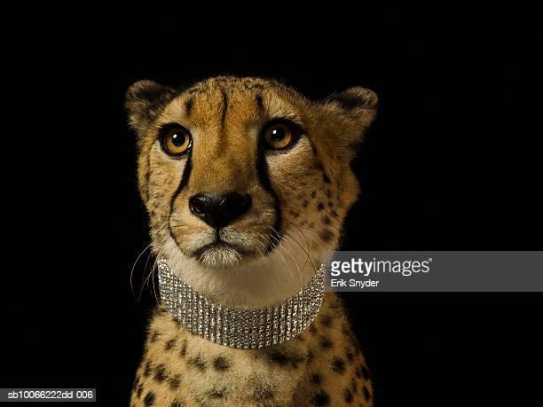 Cheetah with diamond collar on black background, close-up