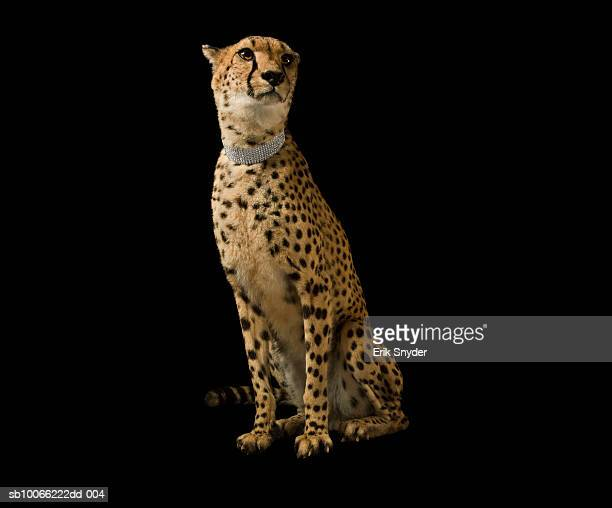 Cheetah with diamond collar on black background