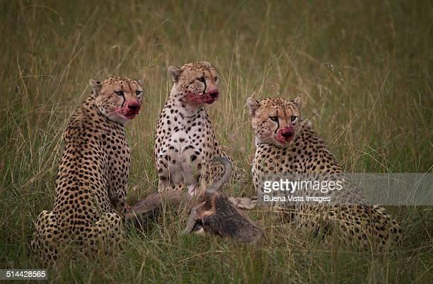 Cheetahs (Acinonyx jubatus), eating  a wildebeest
