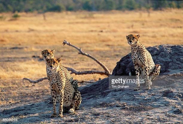 Cheetahs in Moremi National Park, Botswana.