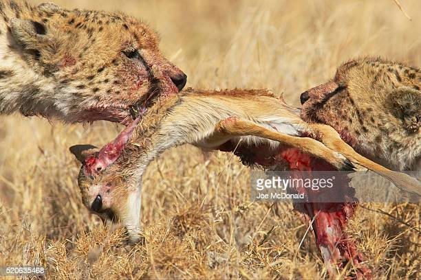 cheetahs in tug-of-war with gazelle carcass - dead deer stock photos and pictures