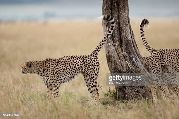Cheetahs marking a tree