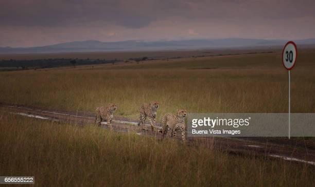 Cheetahs on a dirt road in the savannah