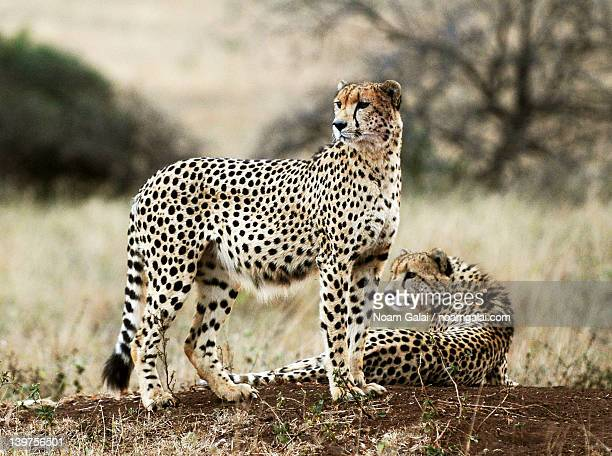 cheetahs - noam galai stock pictures, royalty-free photos & images