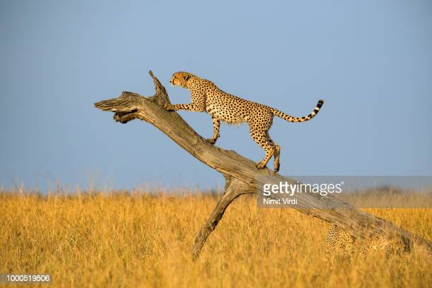 Cheetah's ramp