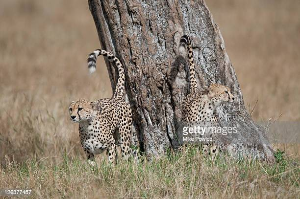 Cheetahs (Acinonyx Jubatus) scent, territory marking, Masai Mara, Kenya, Africa