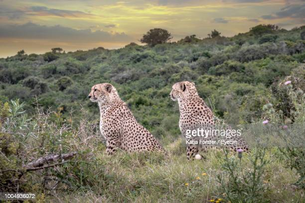 cheetahs sitting on grassy field against cloudy sky during sunset - port elizabeth südafrika stock-fotos und bilder