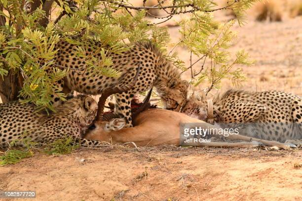 Cheetahs with a kill in South Africa