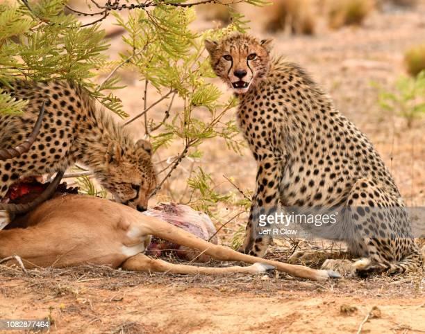 Cheetahs with a kill
