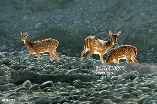 Cheetal, corbett national park, ramnagar, uttarakhand, india, asia