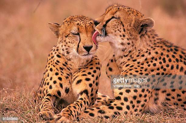 cheetas (acinonyx jubatus) - kruger national park stock pictures, royalty-free photos & images