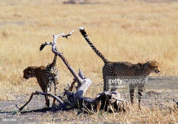 Cheetas scent marking their territory, Moremi, Botswana, Southern Africa.