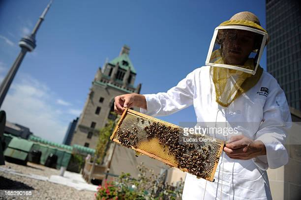 Chef of the Royal York's Epic restaurant Ryan Gustafson tends to the bees on the roof of the downtown hotel The hotel produces it's own honey