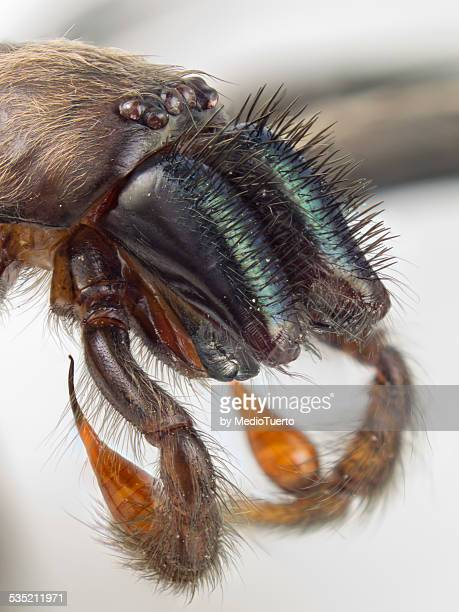 chelicerae and pedipalps - pedipalp stock photos and pictures