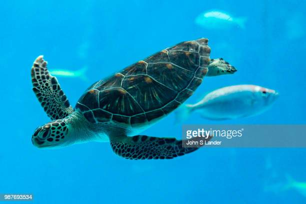 Chelonia mydas mydas or green sea turtles are usually found in tropical waters This species was in a steep decline since the 70s because of...