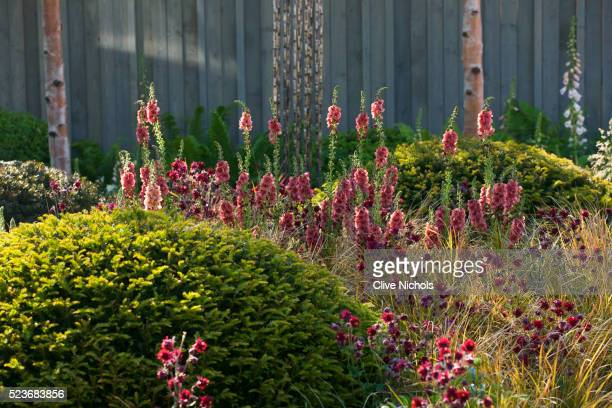 chelsea flower show 2014: planting in khora garden -aquilegia 'ruby port' and verbascum 'petra' - chelsea flower show stock pictures, royalty-free photos & images