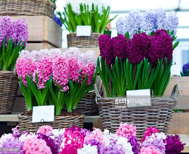 Chelsea Flower Show: Hyacinthus Orientalis sale and display stand