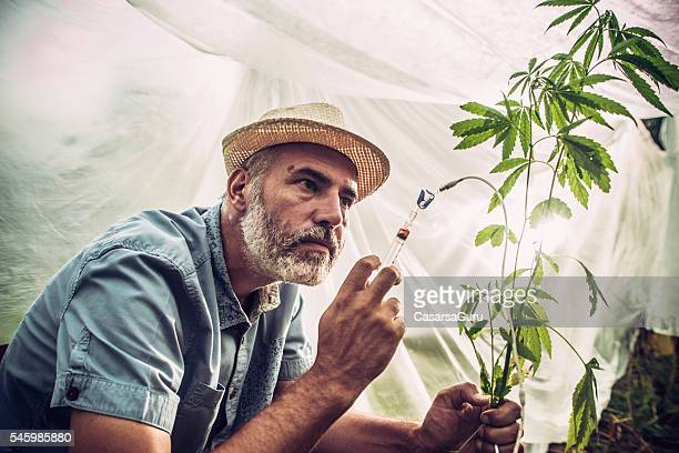 chemical modification of hemp plant - marijuana stock photos and pictures