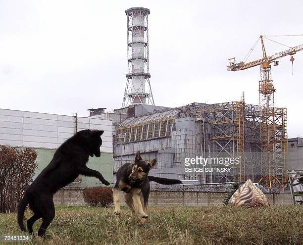 Stray dogs play in front of the Chernobyl nuclear power plant during a drill organized by Ukraine's Emergency Ministry 08 November 2006 Emloyees and...