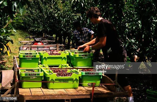 Cherries Cerasus aviumbeing harvested for commercial sale northwest Tasmania Australia