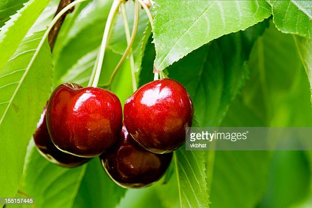 Cherries close-up with stems and leaves