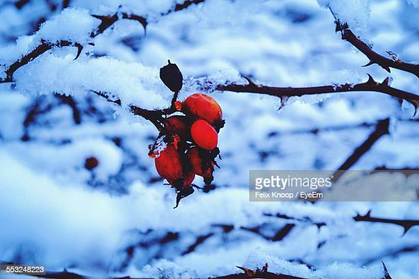 Cherries Growing On Snow Covered Tree