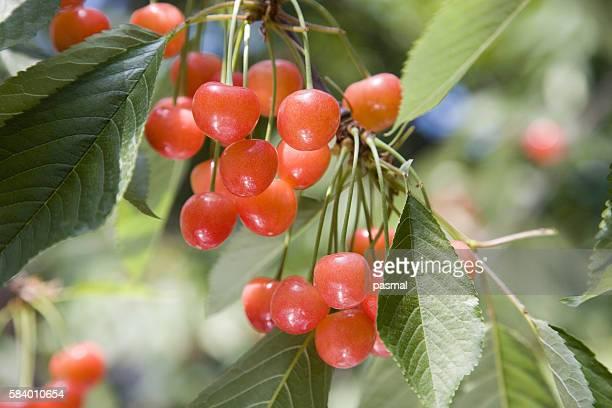 cherries, yamagata prefecture, honshu, japan - 山形県 ストックフォトと画像