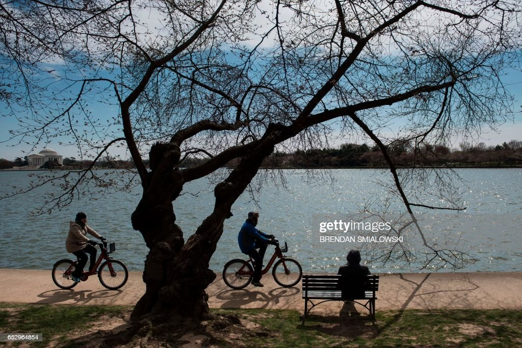 Cherry and other trees close to bloom are seen along the tidal basin on the National Mall on March 13, 2017 in Washington, DC. / AFP PHOTO / Brendan Smialowski