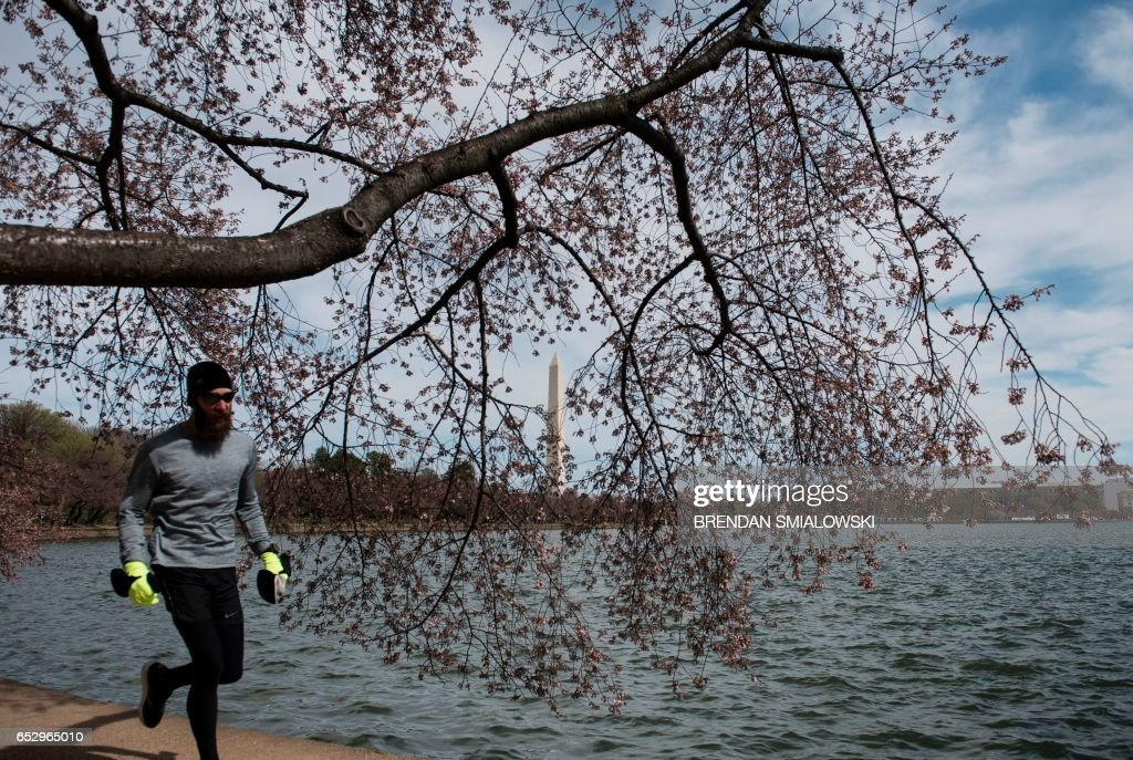 Cherry and other trees close to bloom are seen along the tidal basin on the National Mall on March 13, 2017 in Washington, DC